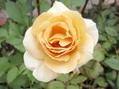 今日のバラ、ピエールも2番花。