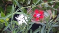 紅白カワラナデシコ
