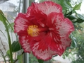 今日は赤系の花で