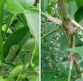 アボカドとユズの木