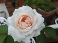 可愛い薔薇さん達