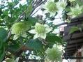 ブドウ科の植物と・・・[i:235]