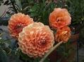 バラがぼちぼち