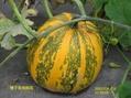 トマトの鉢植えの様子2