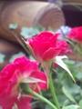ミニバラと雑草