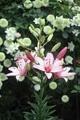 バラの庭から百合の庭へ