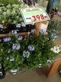 ルリマツリの苗買いました