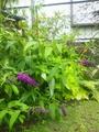 ブッドレア花色の変化