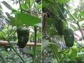 🍅実となる野菜の収穫