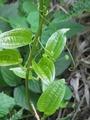 裏山の植物?