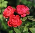 庭で咲いたイングリッシュローズ