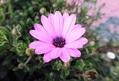 オステオスペルマムは菊の仲間です