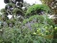 シロバナトリカブトなど 秋の花