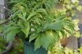 クリスマスローズの原種(H.dumetorum)