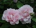 河本純子さん作出のバラ