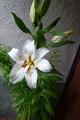 巨大咲きハイブリッド百合「シグナム」