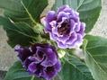 グロキシニア 紫