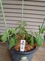 菊の定植。