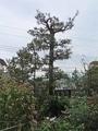 庭:忙しや 庭木も剪定… ふぅ~…