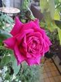 「悠久の約束」二番花