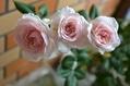 シンデレラ開花