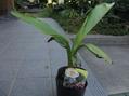 目指せ!バナナ収穫(観賞用ピンクバナナ)