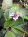 なんで今!?ヒマラヤユキノシタが開花中・・・