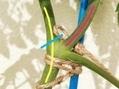 連続摘芯栽培法:房どりトマト🍅