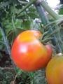星型ズッキーニ + トマト