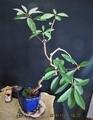 お正月用『譲葉』の鉢増し作業。