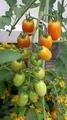 熟年大学のミニトマトがしっかり育っております。