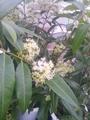 レモンの香りの植物