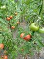 トマト&胡瓜どうする