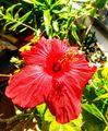 お部屋で咲く夏の花