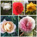 白い山茶花とバラ