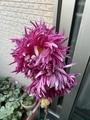 江戸菊の変遷