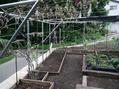 土曜日は、つるバラ移植&クリロ地植