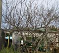 梅と柿の剪定