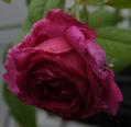 日曜日もつるバラ&クリロ園芸
