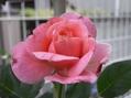 バラ二番花