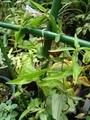 ツルリンドウが今年も咲きました