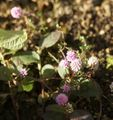 冬に咲いてるオルレア