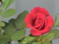 さし木のバラ