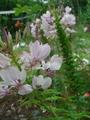 今朝の庭から 八重コスモス他