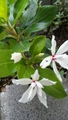 八重咲きニチニチソウ。