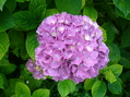 アジサイが咲いてきた。