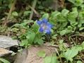 夏に咲くゲンチアナ