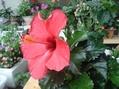 ハイビスカスやっと咲きました。