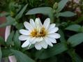 ギボウシの花とふたごちゃん