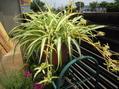 花が咲いていない鉢植えの植物
